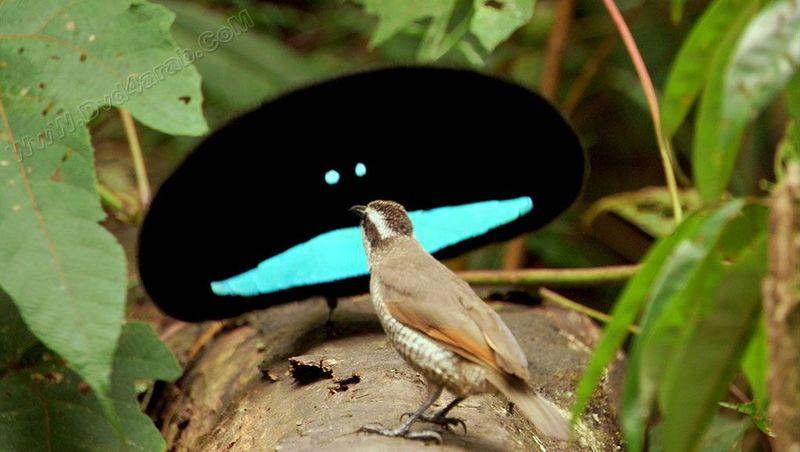 superb-bird-of-paradise